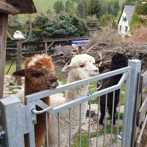 Unserer Alpakas Horst, Max und Rudi